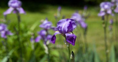 violette nei prati il caldo anonmalo inganna la natura