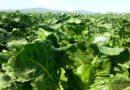 Barbabietole da zucchero diventano benzina biosostenibile