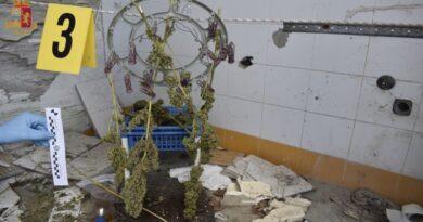Due piantagioni di marijuana scoperte vicino San Lazzaro, un arresto