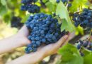 L'uva è quasi pronta, quest'anno si anticipa la vendemmia