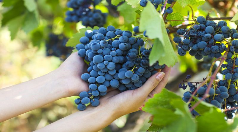 vendemmia emilia romagna bologna uva vino