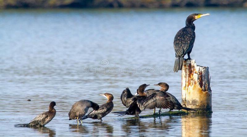 Uccidere i cormorani per salvare allevamenti di pesci e la pesca sportiva, approvata una petizione
